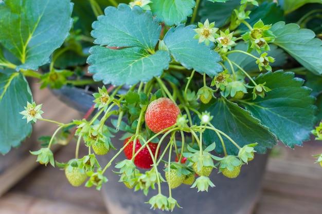 Drzewo truskawkowe ma białe kwiaty i młode owoce młode owoce w ogrodzie