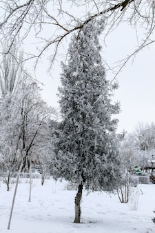 Drzewo tui w zimowym parku miejskim