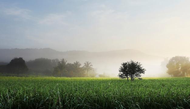 Drzewo w polu ryå¼u zielony z mgå,y na så,oå
