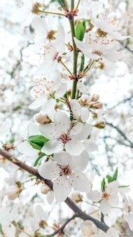 Drzewo w śnieżnobiałych kwiatach na wiosnę