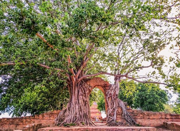 Drzewo wyrastające ze starożytnej świątyni w tajlandii