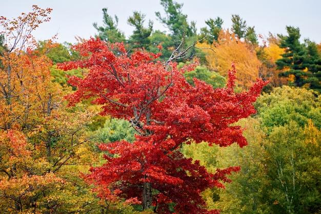 Drzewo z czerwonymi liśćmi w jesienny dzień