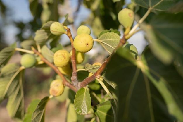 Drzewo z figami, rolnictwo, słoneczny dzień