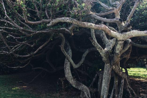 Drzewo z przeplatającymi się gęstymi gałęziami
