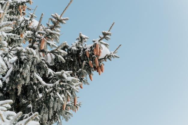 Drzewo z szyszkami pokrytymi śniegiem. słoneczny zimowy dzień w lesie.