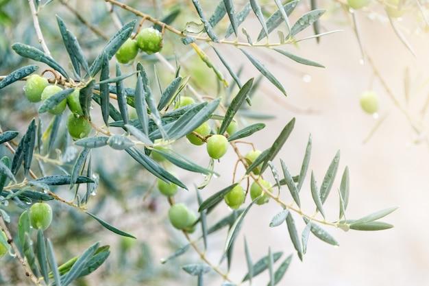 Drzewo zielonych oliwek, kilka gałęzi.