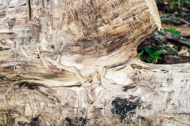 Drzewo zjedzone przez szkodniki i termity.