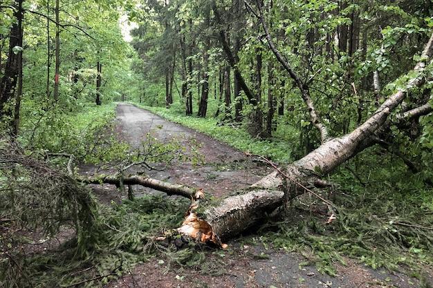 Drzewo złamane podczas silnej burzy blokuje ścieżkę na drodze w parku