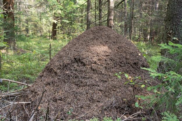 Du?e mrowisko na szczegó?owo rozliczenie lasu czerwona mrówka drewna. mrówki budują dom