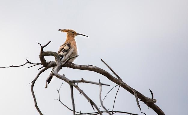Dudek ptak