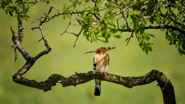 Dudek siedzący na pięknej gałęzi (upupa epops).