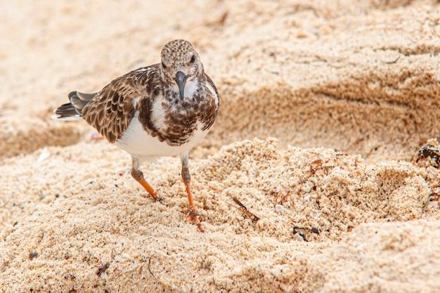 Dulus dominicus na plaży w poszukiwaniu jedzenia?