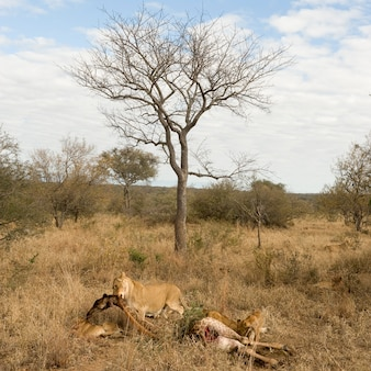 Duma lwa je żyrafy