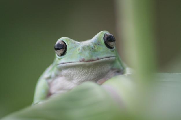 Dumpy frog on leaf