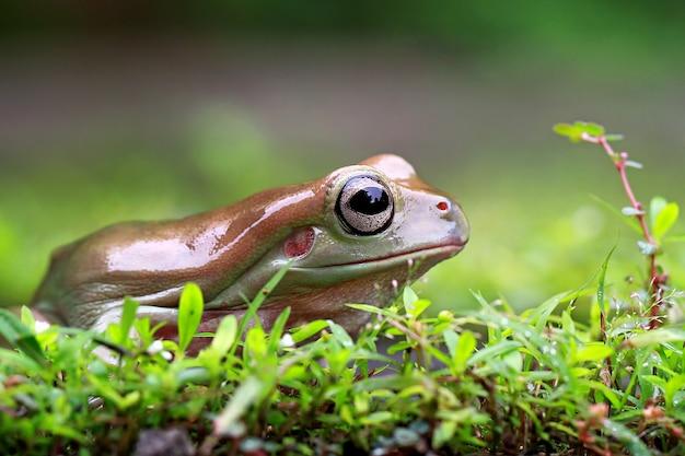 Dumpy frog, papua zielona żaba drzewna