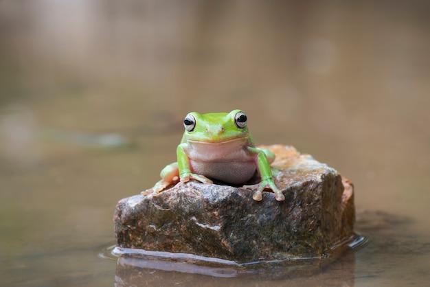 Dumpy żaby drzewo na kamieniu w jeziorze