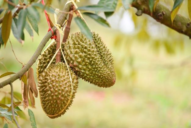 Durian owocowy obwieszenie na durian drzewie w ogrodowego sadu lata tropikalnym owocowym czekaniu dla żniwo natury uprawia ziemię na górze. świeży durian w tajlandii
