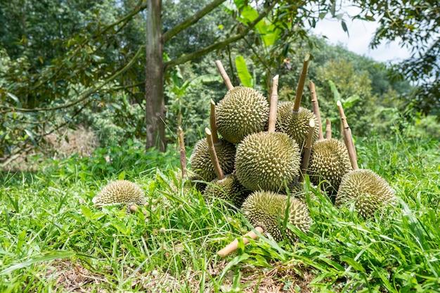 Durian z południowej tajlandii jest bardzo popularny w chinach.
