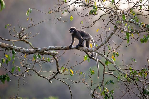 Dusky langur (spectacled langur) (trachypithecus obscurus) w parku narodowym kaeng krachan