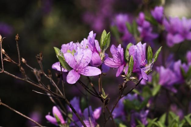 Duża azalia lub różanecznik w ogródzie. sezon kwitnienia azalii (różanecznik) w ogrodzie botanicznym