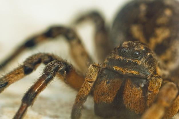 Duża brzydka podskakująca pająk tarantula siedzi na ziemi na bielu