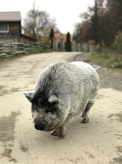 Duża czarna świnia idzie ulicą wioski