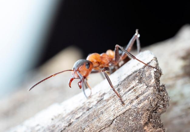 Duża czerwona mrówka leśna w naturalnym środowisku