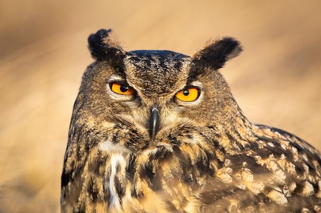 Duża dzika sowa o intensywnie pomarańczowych oczach