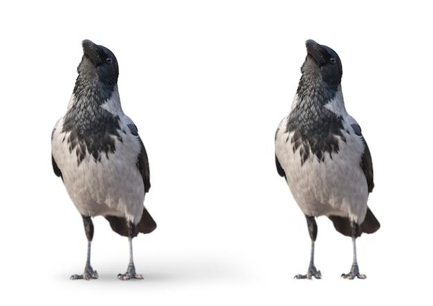 Duża dzika wrona na białym tle
