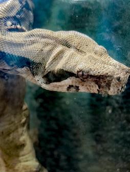 Duża głowa ciemnoszarego węża z bliska w terrarium