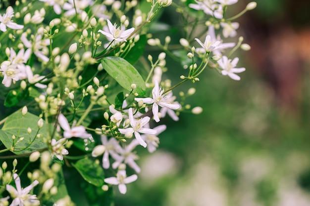 Duża grupa białych kwiatów powojników w ogrodzie, selektywne skupienie i rozmyte tło