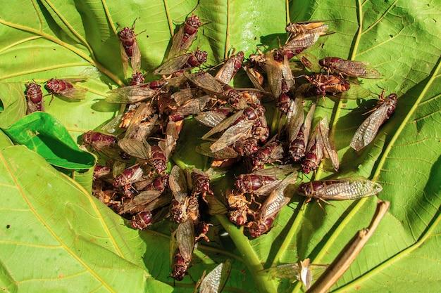 Duża grupa cykad rozpościerających skrzydła i roi się na liściach.
