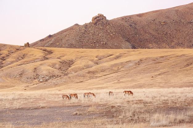 Duża grupa koni przewalskiego w khustain nuruu park narodowy mongolia podczas zachodu słońca