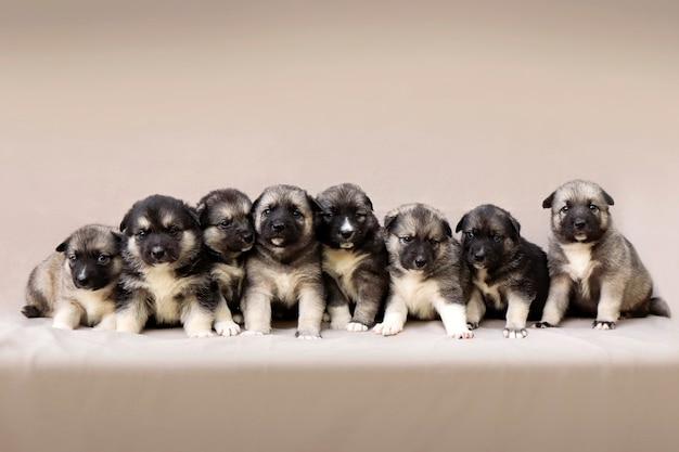 Duża grupa nowonarodzonych szczeniąt na beżowym tle. psy od miesiąca.