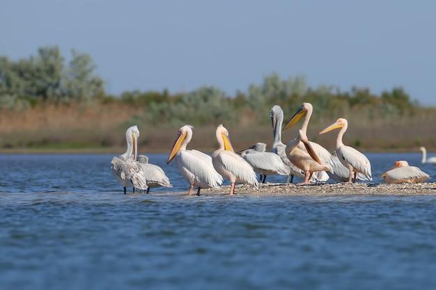 Duża grupa pelikanów dalmatyńskich odpoczywa na piasku w delcie dunaju, vilkovo. zwykle można tu zobaczyć tylko pojedyncze ptaki.