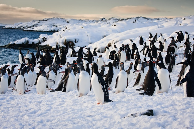 Duża grupa pingwinów