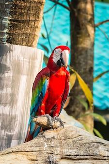 Duża i kolorowa papuga ara
