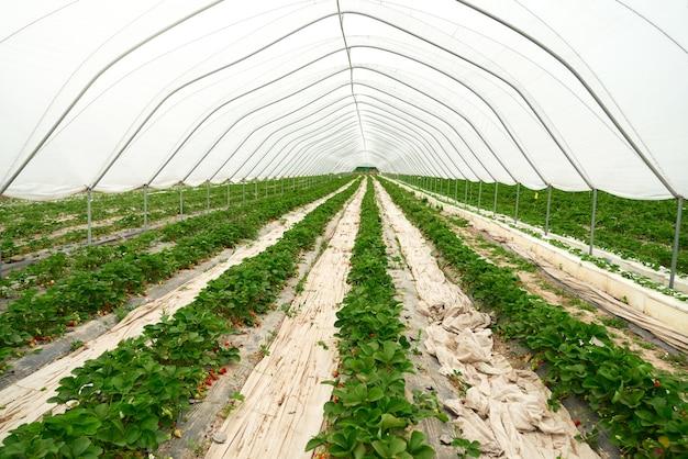 Duża i przestronna nowoczesna szklarnia z truskawkami