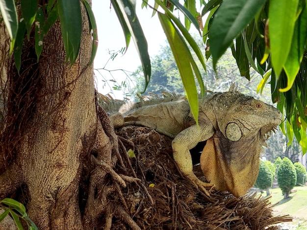 Duża iguana na drzewie