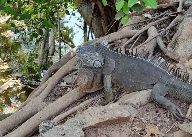 Duża iguana na ziemi