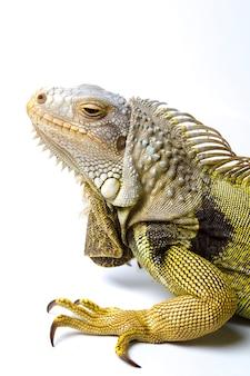 Duża Iguana Zielona Na Białym Tle Na Białym Tle Premium Zdjęcia