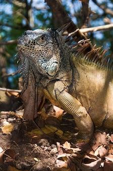 Duża iguana