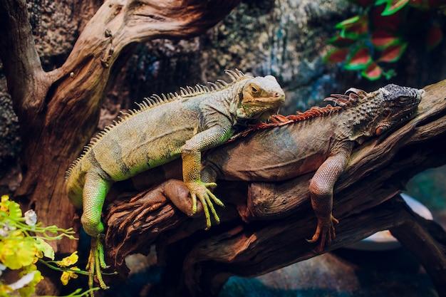 Duża iguany jaszczurka w terrarium - zwierzęcy tło