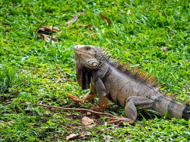 Duża jaszczurka roślinożerna wpatrująca się w trawę