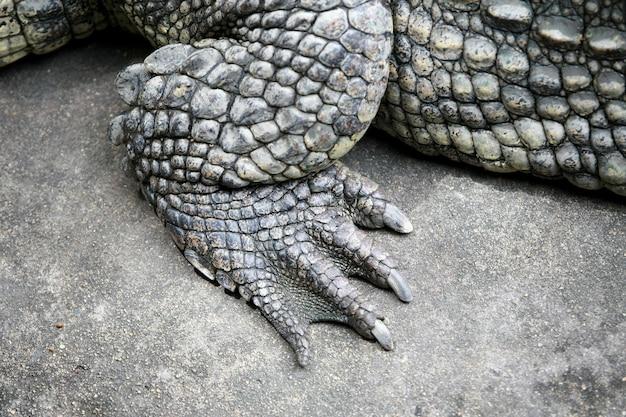 Duża krokodyl stopa na gospodarstwie rolnym, tajlandia