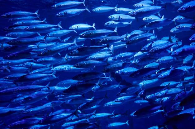 Duża ławica ryb na niebieskim tle, ekosystem morski