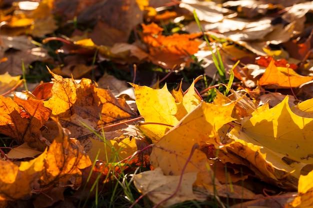 Duża liczba opadłych żółtych i pomarańczowych liści na ziemi, jeden z liści jest oświetlony przez słońce i prześwituje, zbliżenie