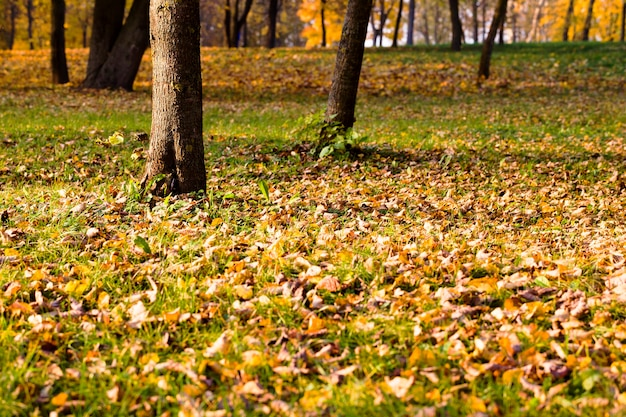 Duża liczba żółtych drzew w parku, jesienią wokół żółtych klonów z dużą ilością liści