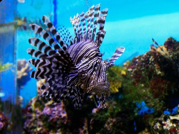 Duża piękna kolorowa ryba pływa w akwarium