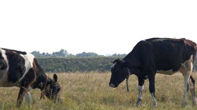 Duża piękna krowa lub cielę stoi i rozgląda się po pięknym polu